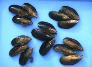 Perna Canaliculus Gmelin 1791 Mytilidae