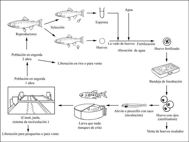 FAO - Oncorhynchus mykiss
