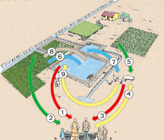 7 integraci n de la piscicultura con la cr a de otros for Cria de tilapia en casa