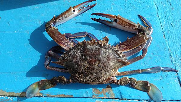 Le crabe bleu est une espèce envahissante en mer Méditerranée. Il se nourrit de poissons locaux et endommage le matériel de pêche avec sa carapace et ses pinces acérées