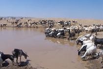 Ethiopia cows