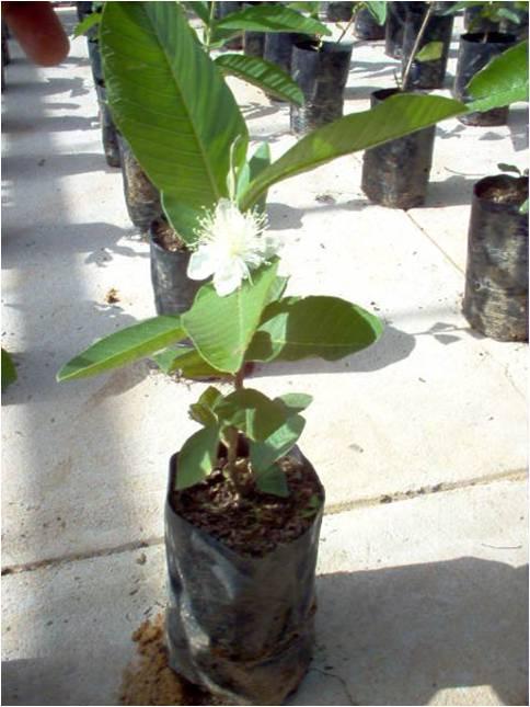 Planta de guayaba tipo Criolla Roja (Psidium guajava) propagada por