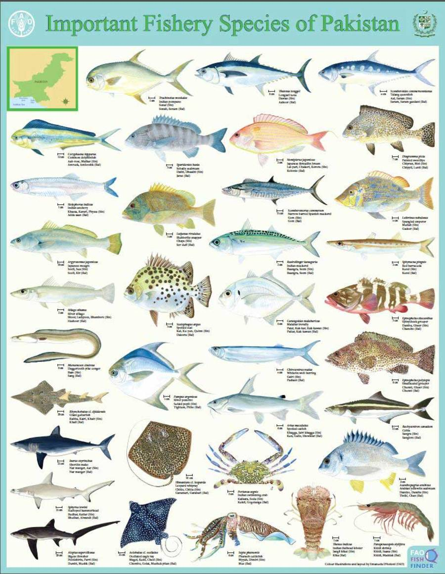New Fao Species Identification Tools For Marine Resources Of Pakistan Blue Growth Blog Food And Agriculture Organization Of The United Nations
