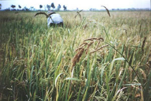 Plant Production and Protection Division: Echinochloa crus ...