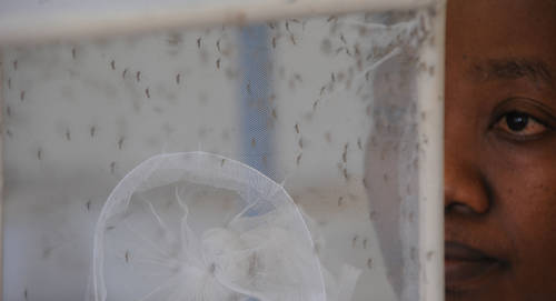 Zika Virus | FAO | Food and Agriculture Organization of the