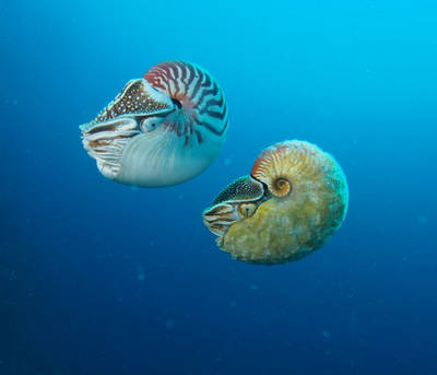 Do new shark and ray species ornamental fish and nautilus for Types of ray fish