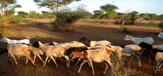 Животноводство и окружающая среда ФАО Продовольственная и  Животноводство и окружающая среда