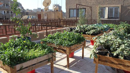 greening cairo s roofs with nutritious vegetables and fruits fao rh fao org growing vegetables on rooftop growing vegetables on rooftop