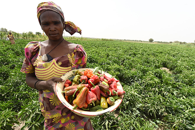 017, Maiduguri, Nigeria - Women harvesting Peppers and Tomatoes at FAO-supported farm project, Gongolong Village, Jere Local Government Area, 11 kilometers away from Maiduguri metropolitan in Borno, northeast Nigeria ©FAO/Pius Utomi Ekpei. SDG Indicator 5.a.1.