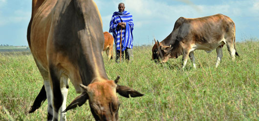 A Maasai livestock owner whose cattle herd has suffered from and subsequently been innoculated against rinderpest ©FAO/Tony Karumba